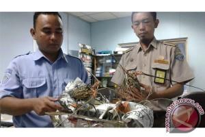 Lobster masuk Palembang pakai dokumen palsu