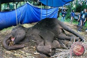 Seekor gajah ditemukan mati di Aceh