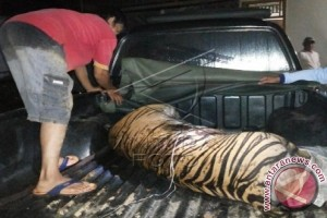 Harimau pemangsa warga akan di evakuasi