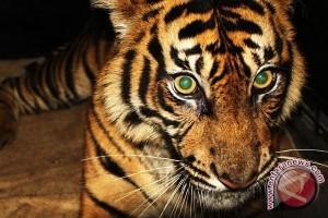 Harimau keluar masuk perkampungan resahkan warga Mandailing Natal