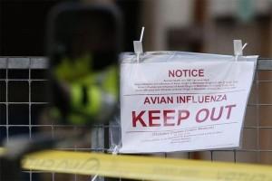Kementan kaji vaksin terbaik untuk flu burung