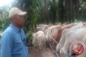 Pola integrasi sapi-sawit terus menelurkan inovasi