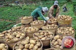 Harga kentang di tingkat pedagang turun