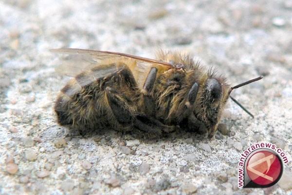 Lebah liar berjuang hidup setelah kebakaran hutan parah