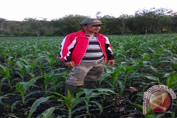Petani jagung Ogan Komering Ulu mulai bergairah