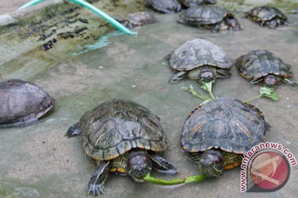 76 ekor kura-kura pipi putih dilepasliarkan
