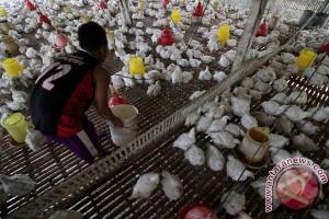 Kandang ayam bersih cegah penyakit unggas