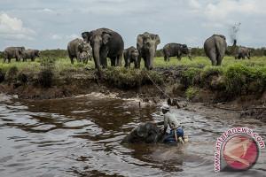 Gajah Bengkulu diperkirakan tersisa 70 ekor