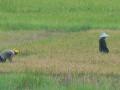 Petani memanen padi di kompleks persawahan di kecamatan Pemulutan Kabupaten Ogan Ilir ,Sumsel, Selasa (10/10). Bulog Divre Sumsel dan Babel menargetkan penyerapan pengadaan beras di Sumsel-Babel sebanyak 120 ribu ton selama 2017. (ANTARA Sumsel/Feny Selly/Ang/17)