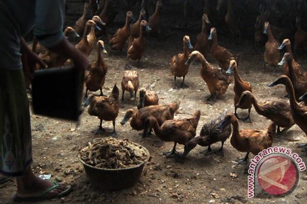 Warga Lampung kembangkan bebek pedaging