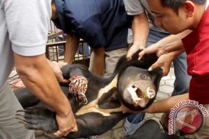 Korban amuk beruang jalani enam jam operasi