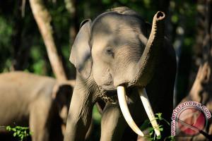 KLHK minta perusahaan berbagai ruang dengan gajah liar