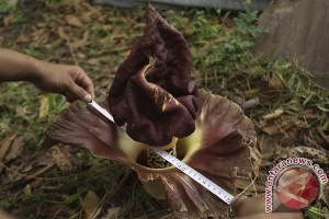 Bunga bangkai mekar di Padang Pariaman
