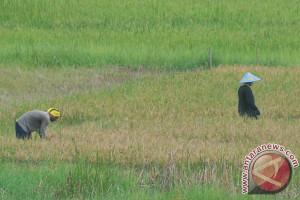 Nilai tukar petani Sumsel turun 1,58 persen