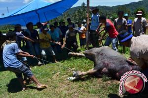 "Tradisi ""membantai kabau nan gadang"" jadi suguhan wisata"