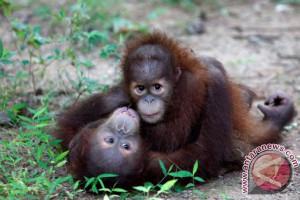 Orangutan di Konservasi Tapanuli Selatan terancam