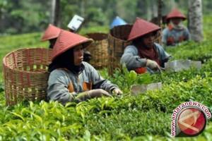 Pemerintah tingkatkan ekspor komoditas teh ke Eropa