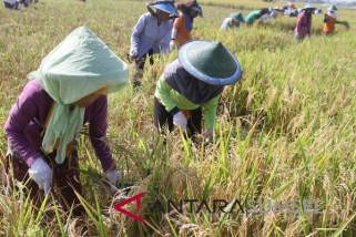 Babinsa Musi Rawas bantu petani panen padi