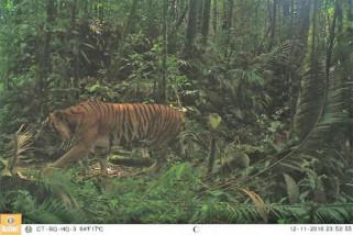 Harimau yang menyerang manusia kembali masuk hutan