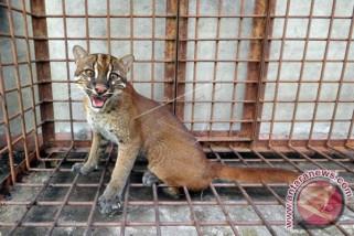Ternyata populasi kucing emas di Aceh masih banyak