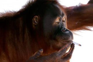 Dunia maya dikejutkan video orangutan menghisap rokok