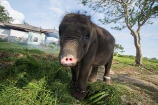 Meski belalai terpotong,  gajah