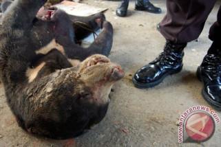 BBKSDA selamatkan beruang madu terjerat