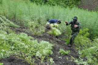 20 hektare ladang ganja ditemukan TNI