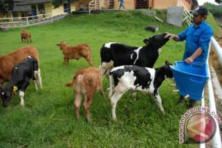 Mencegah kematian anak sapi akibat diare, begini caranya