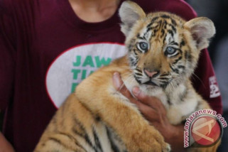BKSDA Sumbar segera lepasliarkan harimau
