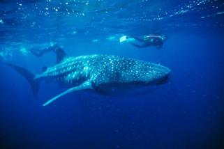 Satu irama dengan hiu paus