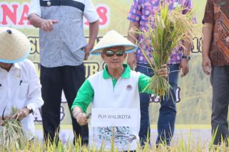 Palembang panen padi sawah lebak