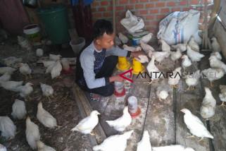 Puluhan ayam ternak di Musi Rawas mati mendadak