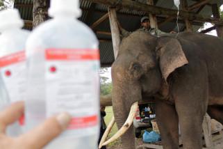 Pengobatan Gajah Terlatih Sakit