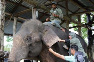 Dukungan Internasional mengalir untuk gajah sumatera
