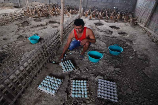 Produksi Telur Bebek