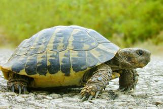 Kura-kura Australia hadapi ancaman besar mati di jalanan